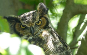 Horned Owl.png