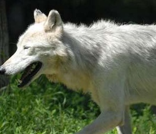 wolf pacing