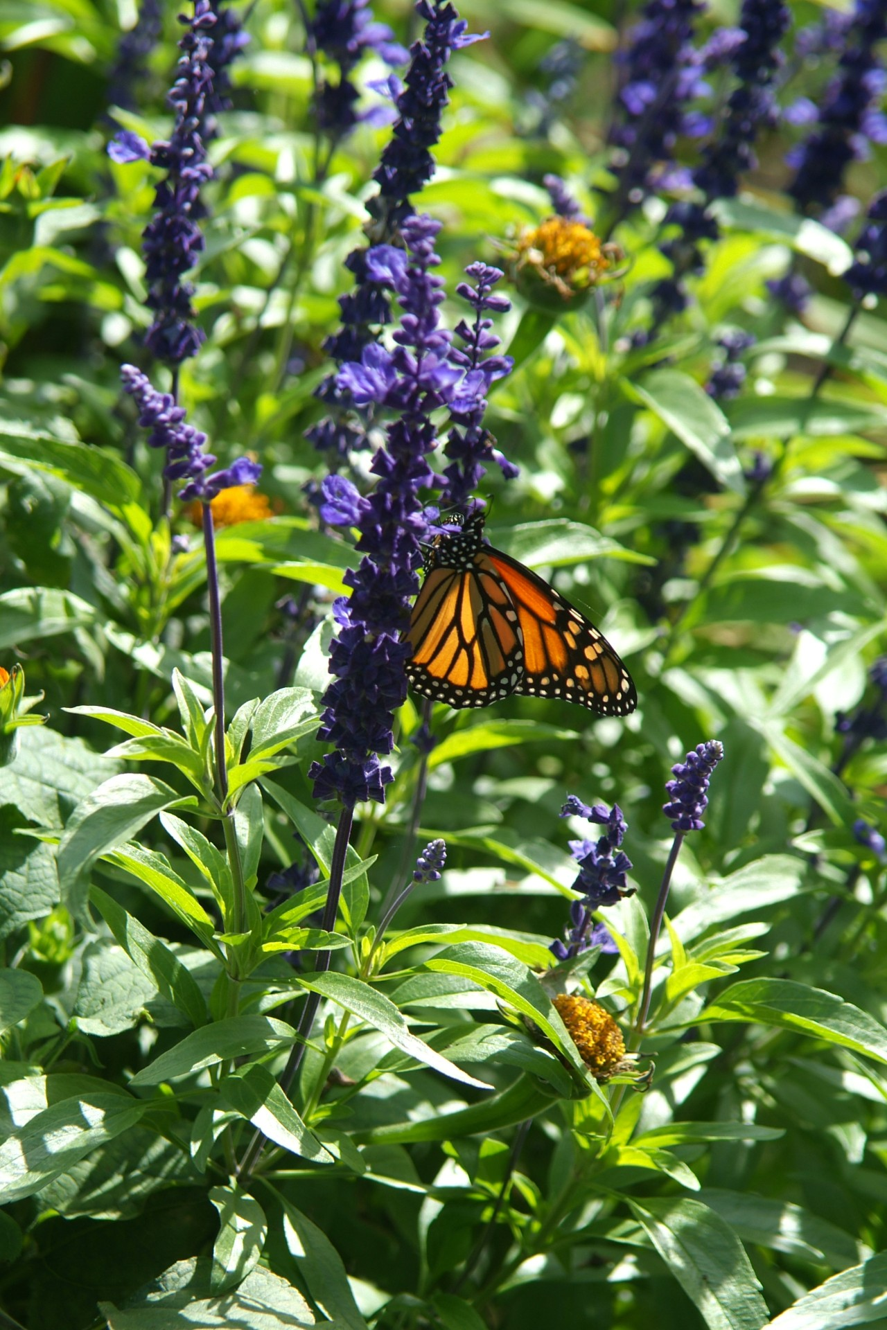 Monarch Butterfly in Butterfly Garden